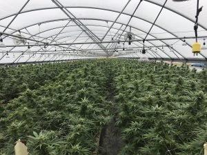 Hemp greenhouse